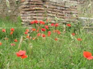 Ostia poppies close