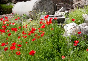 poppies in ruins