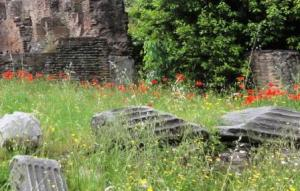 Poppies in forum ruins